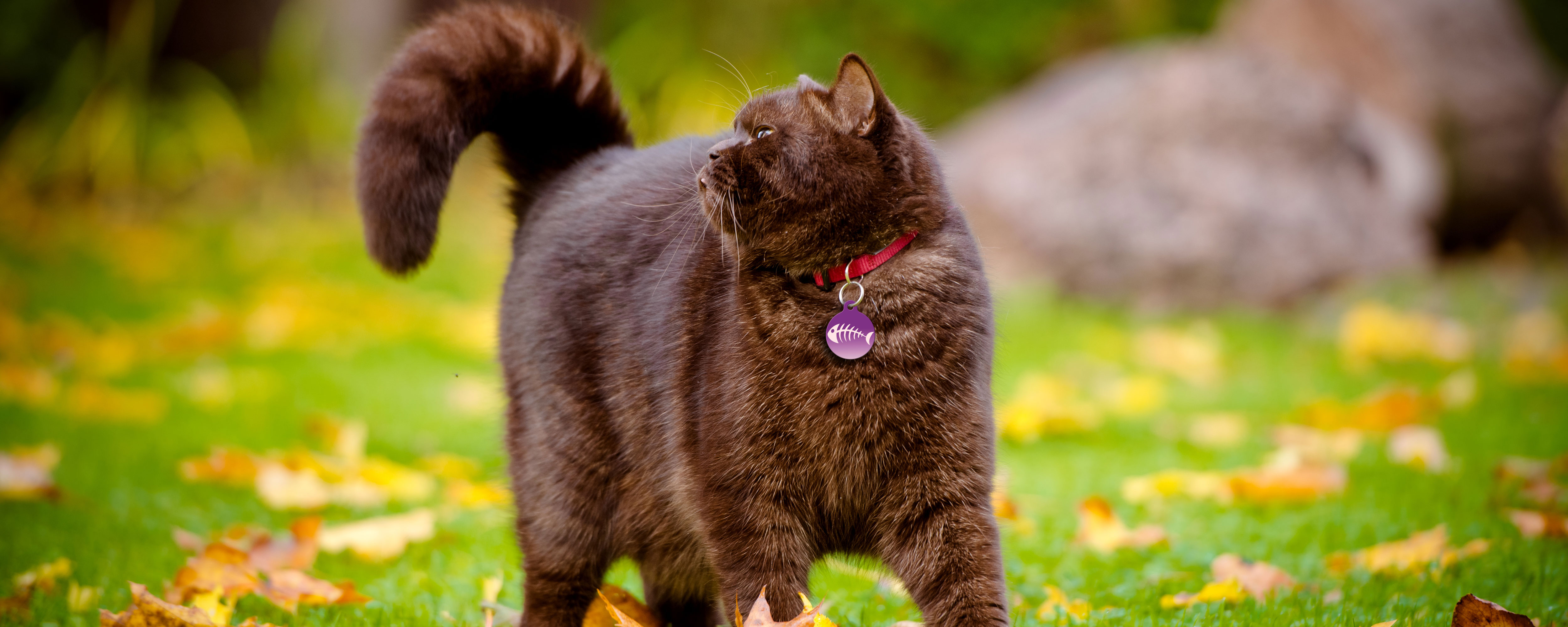 fat brown cat with fishy pethub tag wandering in park