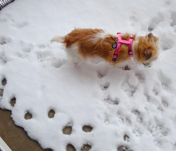 orange and white terrier in pink harness walking in snow